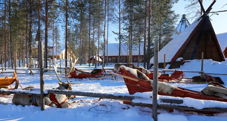 Reindeers in Rovaniemi